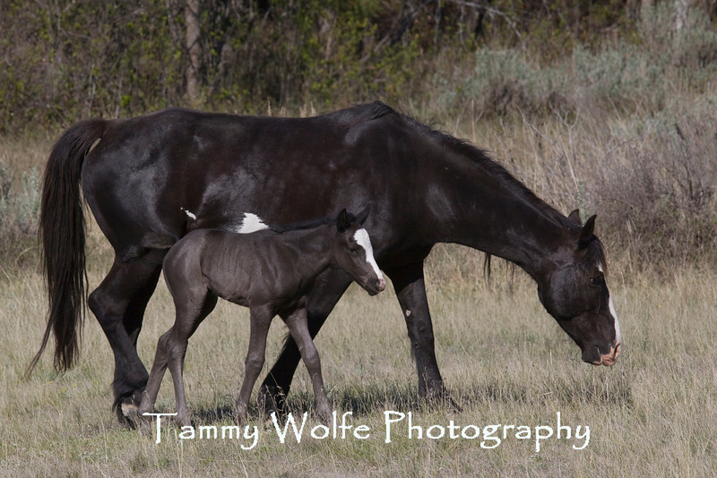 Feral (Wild) Horses, Mare with Foal, Theodore Roosevelt National Park
