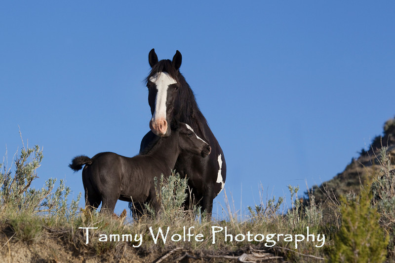 Feral (Wild) Horse, Theodore Roosevelt National Park