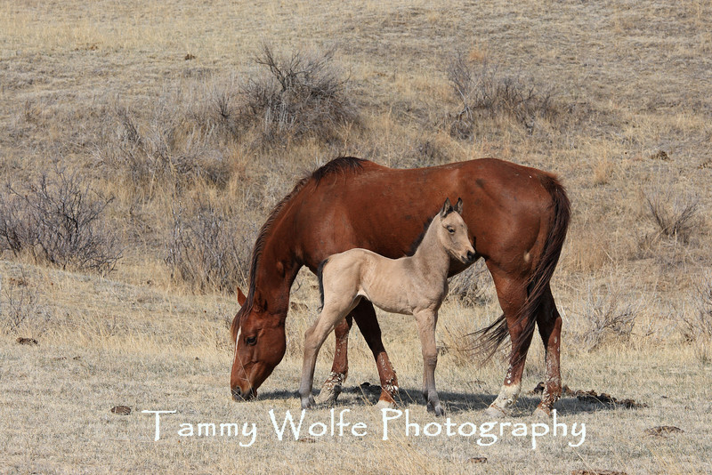 Mare (Horse) with Buckskin Foal at a North Dakota Ranch