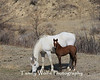 Mare (Horse) with a Foal at a North Dakota Ranch