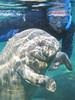 Florida Manatee  (Trichechus manatus latirostris), Manatee with Snorkeler