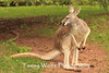 Red Kangaroo, Lake Superior Zoo