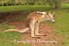 Red Kangaroo at the Lake Superior Zoo*