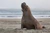 Northern Elephant Seal (Mirounga angustirostris)