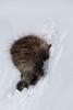 Porcupine, North American*