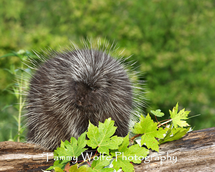 Porcupine, North American