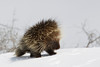 Porcupine, North American*