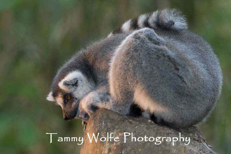 Ring-tailed Lemur (Lemur catta), Minnesota Zoo