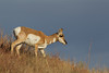 Pronghorn (Antilocapra americana), Custer State Park