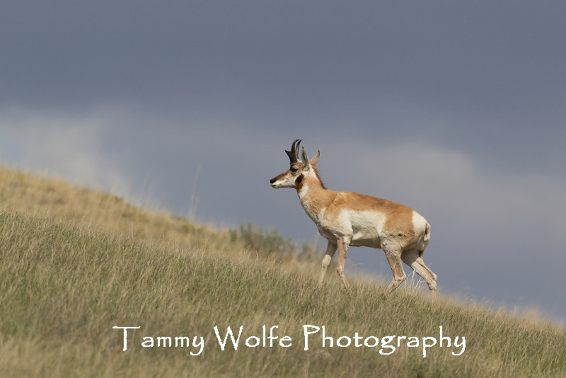 Pronghorn (Antilocapra americana), Thedore Roosevelt National Park