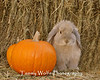 Holland Lop by Pumpkins (Photo #1899)