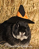 Domestic Rabbit Wearing a Witch Hat