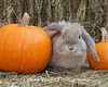 Holland Lop by Pumpkins (Photo #1891)