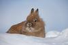 Domestic Rabbit, Lionhead