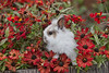 Domestic Rabbit, Lionhead