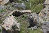 American pika (Ochotona princeps), Rocky Mountain National Park
