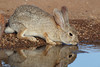 Desert Cottontail Rabbit (Sylvilagus audubonnii)