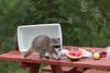 Raccoon (Procyon lotor), Raiding Picnic*