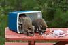 Raccoons (Procyon lotor) Raiding Campsite*