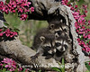 Three Raccoon Kits*