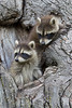 Raccoons (Procyon lotor) in a Tree*