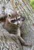 Raccoon (Procyon lotor)*