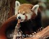 Red Panda, Minnesota Zoo
