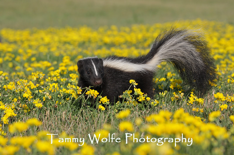 Skunk in wildflowers*