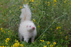 Albino Striped Skunk (Mephitis mephitis)