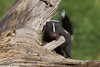 Striped Skunk (Mephitis mephitis)*