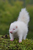Albino Striped Skunk (Mephitis mephitis)*