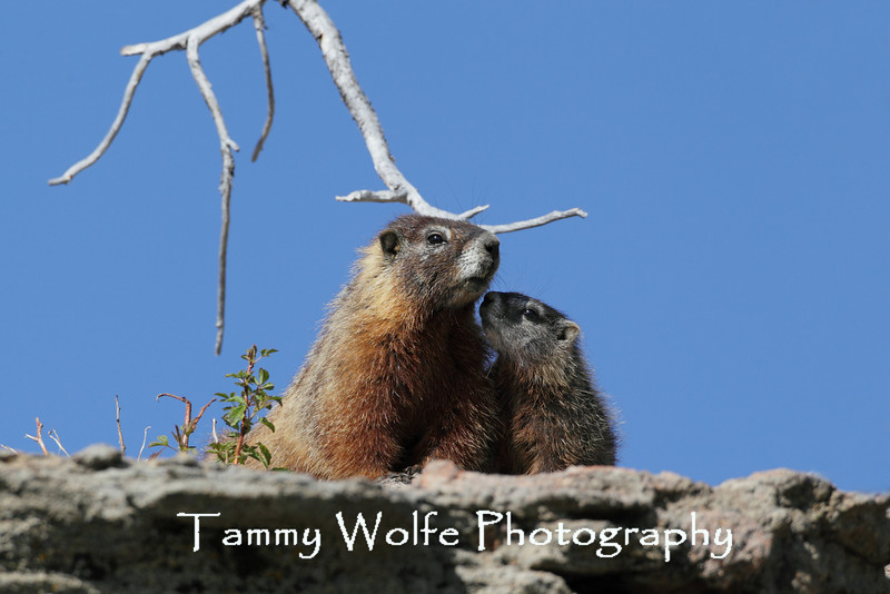 Yellow-bellied marmot (Marmota flaviventris), Yellowstone National Park