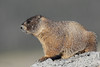 Yellow-bellied marmot (Marmota flaviventris), Mount Evans