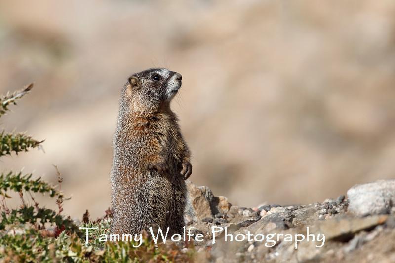 Yellow-bellied marmot (Marmota flaviventris), Rocky Mountain National Park