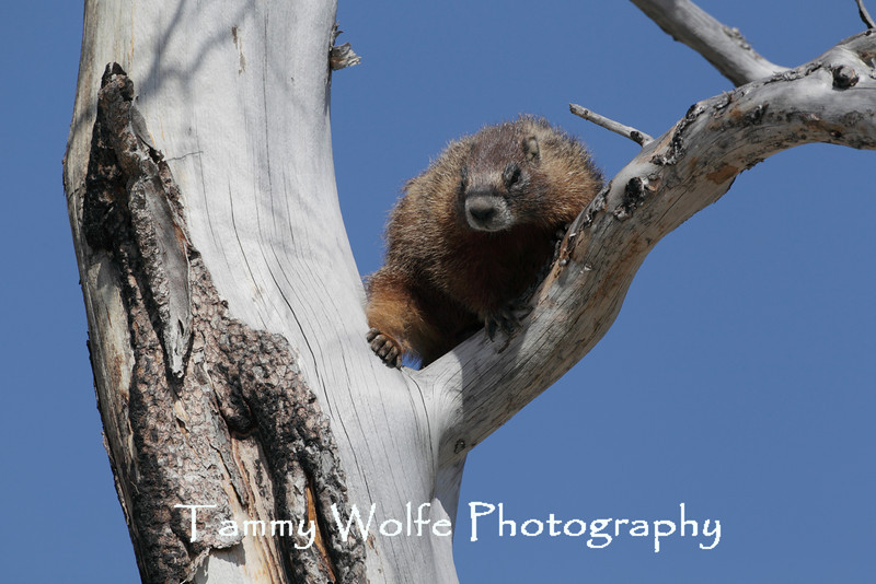 Yellow-bellied marmot (Marmota flaviventris) in a Tree, Yellowstone National Park