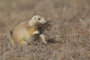Black-tailed Prairie Dog (Cynomys ludovicianus), Theodore Roosevelt National Park, North Dakota