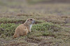 Prairie Dog (Cynomys ludovicianus), Theodore Roosevelt National Park