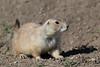 Prairie Dog (Cynomys ludovicianus), Badlands National Park