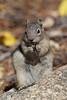 Golden-Mantled Ground Squirrel (Callospermophilus lateralis)