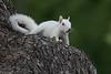 Albino Eastern Gray Squirrel (Sciurus carolinensis)
