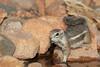 Harris's antelope squirrel (Ammospermophilus harrisii)