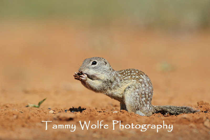 Mexican Ground Squirrel (Ictidomys mexicanus)