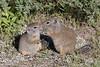Uinta Ground Squirrel (Urocitellus armatus)