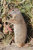 Uinta Ground Squirrel (Urocitellus armatus)