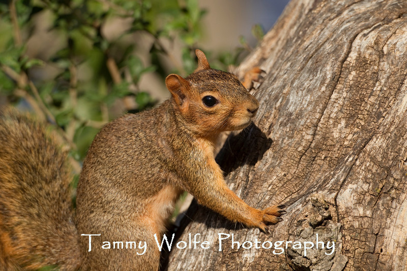 Eastern Fox Squirrel (Sciurus niger)