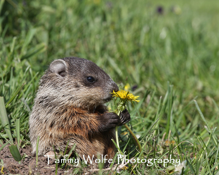 Baby Woodchuck Smelling a Dandelion