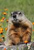 Groundhog; Marmota monax;