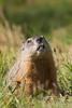 Woodchuck; Groundhog; Marmota monax;