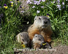 Woodchuck Family* (#6295)