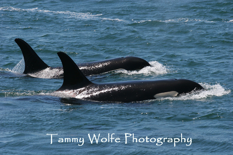 Orcas in the San Juan Islands. In 2005 the Southern Resident Orcas that frequent the San Juan Islands were placed on the federal endangered species list. This photo was taken on shore by Lime Kiln lighthouse.